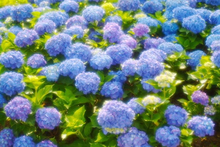 紫陽花で魔除け!幸運を呼ぶアジサイで梅雨を乗り切る